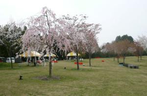 桜花苑さくらまつり2014